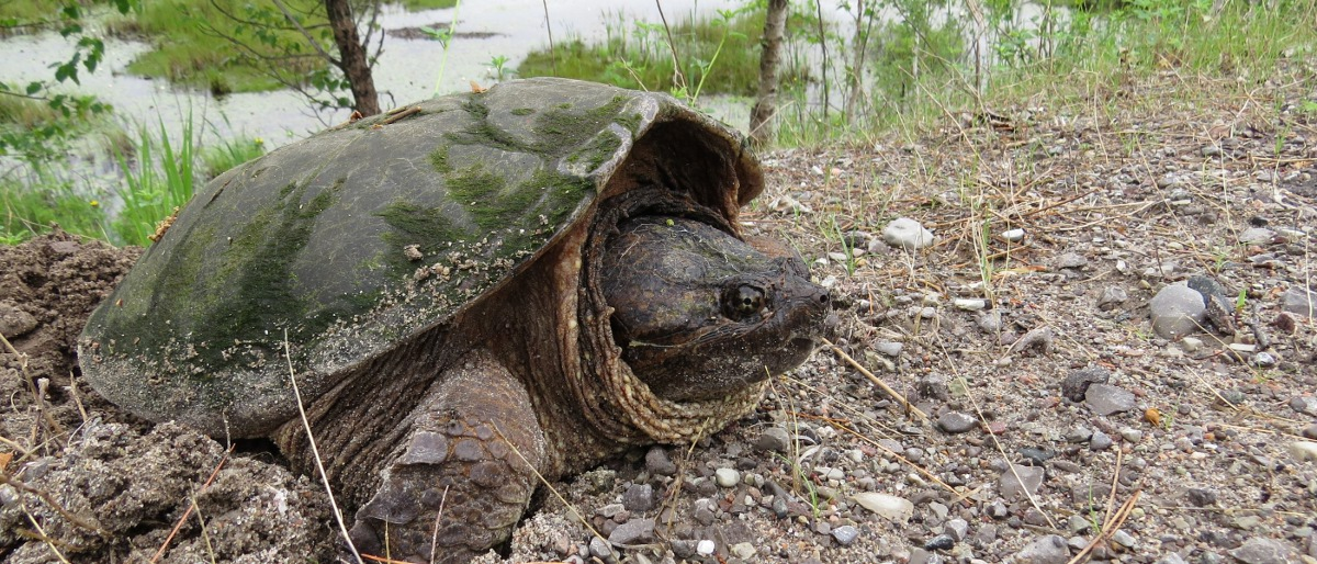 Permalink to: Snapping Turtle Laying Eggs